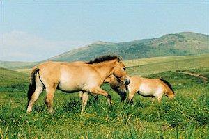 p-more-przewalski-horses