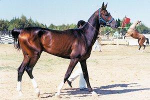 p-turkoman-horse